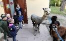 Alpaki w przedszkolu-5